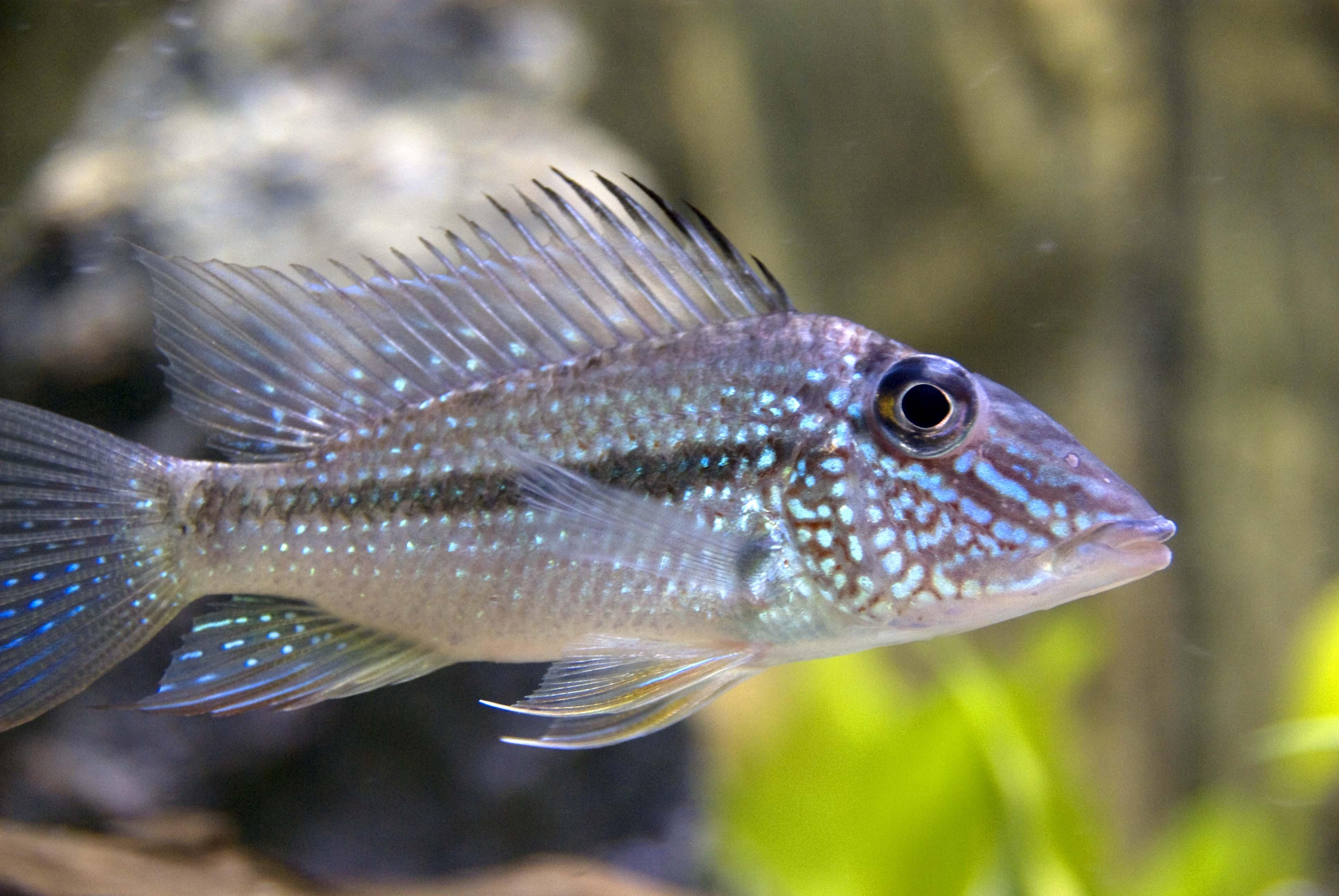 Första fisken